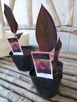 カンナブラックビューティー苗銅葉が魅力3.5号サイズのポット苗で高さ20cmセンチ