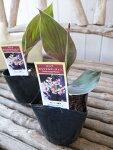カンナエンジェルマーティン苗銅葉が魅力3.5号サイズのポット苗で高さ20cmセンチ