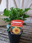 ハイビスカスゴールデンウィンド苗花芽付3.5号サイズのポット苗