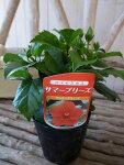 ハイビスカスフレミングウィンド苗花芽付3.5号サイズのポット苗