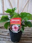 ハイビスカスキャンディウィンド苗花芽付3.5号サイズのポット苗