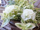斑入りペチュニア ホワイトメモリー大苗 レアな新品種 葉だけでも美しく花が咲くとブーケのような清楚感が魅力