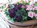 ペチュニア ブラックダブル苗 豪華なブラック八重咲ペチュニア これまでと違ったペチュニアを求めるこだわり派のあなたに