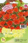 チューリップリニフォリア7球セット植えっぱなしで毎年花が咲くちゅーりっぷ球根