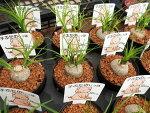 トックリラン子ぶたのしっぽノリナ3号サイズ鉢植え