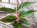 アグラオネマ サイアム オーロラ 3.5号サイズ 鉢植え 室内でグリーン 観葉植物