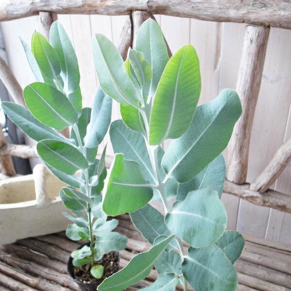 ユーカリ プレウロカルパ 3.5号サイズ ユーカリ 苗 シルバーリーフが美しくシンボルツリーとしても人気の植物