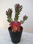 リューカデンドロンデビルズブラッシュDevil'sBlush5号鉢高さ45cmセンチ美しく色ずく葉鉢植え常緑低木