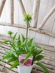 エキナセアパウワウワイルドベリー3号苗イングリッシュガーデンに人気の毎年楽しめる宿根草