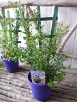 実付ブルーベリー鉢植えビルベリー5号トレリス仕立て高さ50cmセンチ苗木プレゼント