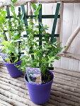サザンハイブッシュ系実付ブルーベリー鉢植えビロキシー5号トレリス仕立て高さ50cmセンチ苗木プレゼント
