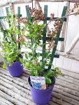 ラビットアイ系実付ブルーベリー鉢植えレッドジュエル5号トレリス仕立て高さ50cmセンチ苗木プレゼント