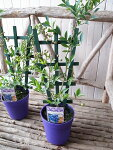 ラビットアイ系実付ブルーベリー鉢植えブライトウェル5号トレリス仕立て高さ50cmセンチ苗木プレゼント
