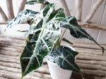 アロカシアアマゾニカ観葉植物4号サイズの鉢植え高さ30cmセンチ