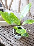 フィカスアルテシマ観葉植物ゴムノキゴムの木鉢植え4号サイズ高さ35cmセンチ