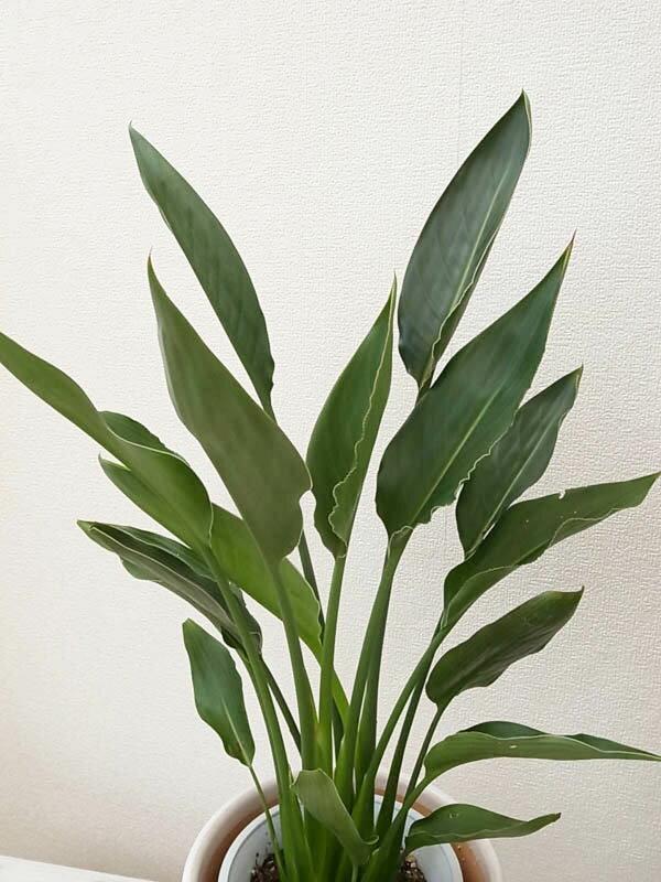 ストレリチア レギネ 送料無料 観葉植物 6号サイズ 鉢植え 高さ70cmセンチ
