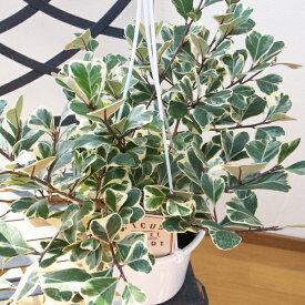 フィカス トライアンギュラリス スイートハート 5号サイズ 吊り鉢 鉢植えで高さ35cmセンチ 観葉植物