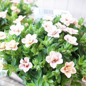 カリブラコア 苗 ティフォシー アンティーク No4 3.5号サイズ 新品種 半耐寒性多年草