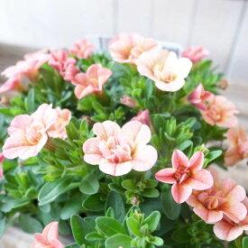 カリブラコア 苗 ティフォシー アンティーク ピンク オレンジ No3 3.5号サイズ 新品種 半耐寒性多年草 ペチュニア 八重咲き