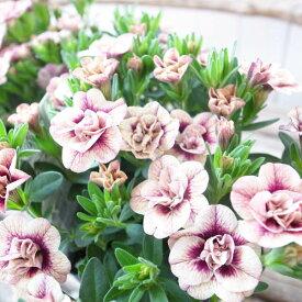 カリブラコア 苗 ティフォシー アンティーク No75 3.5号サイズ 新品種 半耐寒性多年草