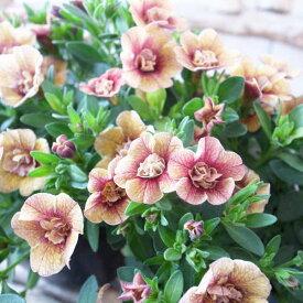 カリブラコア 苗 ティフォシー アンティーク No82 3.5号サイズ 新品種 半耐寒性多年草