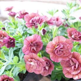カリブラコア 苗 ティフォシー アンティーク No55 3.5号サイズ 新品種 半耐寒性多年草