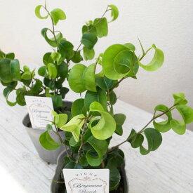 ベンジャミン フィカス ベンジャミナ バロック 3号サイズ 観葉植物 苗 光沢あるカールした葉 室内インテリア グリーン 緑