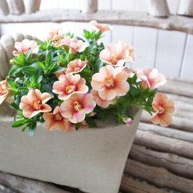 カリブラコア 苗 ティフォシー アンティーク No38 3.5号サイズ 新品種 花芽付