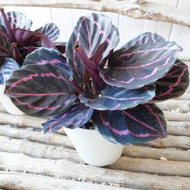【ポイント10倍】カラテア ドッティ 4号サイズ 鉢植え カラフルな葉色が魅力 観葉植物