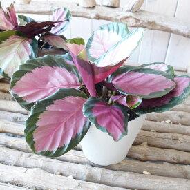 【ポイント10倍】カラテア ロゼオピクタ ロージー 4号サイズ 鉢植え カラフルな葉色が魅力 観葉植物