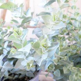 ユーカリ アルビダ 4号サイズ 鉢植え 葉色の美しい希少種 珍しい 高さ30cm 常緑高木