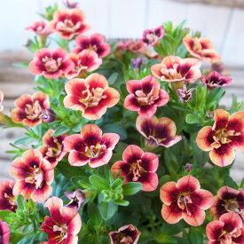 カリブラコア 苗 ティフォシー エレガンス E01 3.5号サイズ 新品種 花芽付 夏の花 おしゃれ ペチュニア 八重咲き