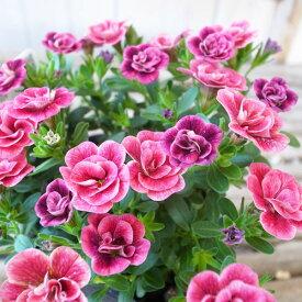 カリブラコア 苗 ティフォシー エレガンス ピンク パープル E02 3.5号サイズ 新品種 花芽付 販売 種類 夏の花 おしゃれ ペチュニア 八重咲き