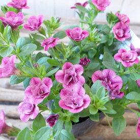カリブラコア 苗 ティフォシー エレガンス パープル ピンク E03 3.5号サイズ 新品種 花芽付 ペチュニア 八重咲き