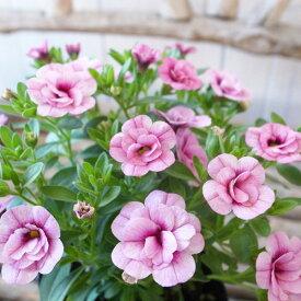 カリブラコア 苗 ティフォシー エレガンス パープル ピンク E04 3.5号サイズ 新品種 花芽付 夏の花 おしゃれ ペチュニア 八重咲き