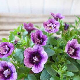 カリブラコア 苗 ティフォシー エレガンス E05 3.5号サイズ 新品種 花芽付