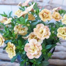 カリブラコア 苗 ティフォシー エレガンス E06 3.5号サイズ 新品種 花芽付