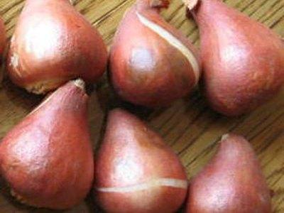 チューリップ球根葉も美しいチューリップカーナバルデリオ5球セットNEW