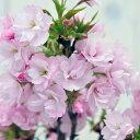 サクラ 桜 盆栽 旭山 ポット苗 山桜 家庭でも楽しめるコンパクトサイズ