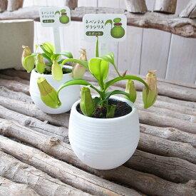 ネペンテス グラシリス スポート 3.5号サイズ 鉢植え 食虫植物 ネペンテス Nepenthes【食虫植物】