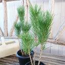 黒松盆栽 クロマツ 4号サイズ 鉢植え 若い木でも古木の雰囲気が出やすい人気の松
