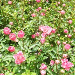 ミニバラ 姫バラ ほほえみルージュ 3.5号サイズ 花苗 花芽付 八重咲きで濃いローズレッドの花色 極小輪の細かな花が房状に咲く花付良いミニバラ ピンク