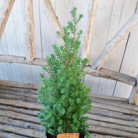 コニファー パープルフェザー 3.5号サイズ 観葉植物 苗 レッドスター クリスマス時期の寄せ植え等に最適