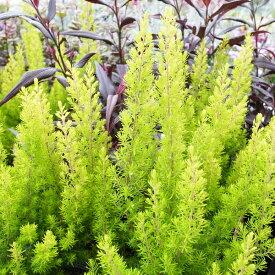 エリカ アルボレア アルバーツゴールド 3号サイズ 苗 鮮やかなゴールドの小葉が魅力
