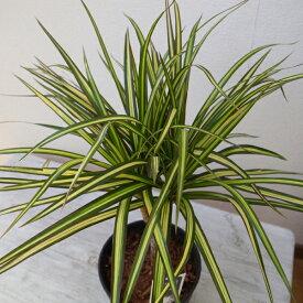 ドラセナ マジナータ ゴールド 斑入り 5号サイズ 鉢植え 送料無料 コンシンネ 観葉植物 高さ50cmセンチ程
