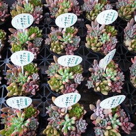 カラフル多肉植物 寄せ植え 2.5号サイズ 苗 タニクショクブツ 室内