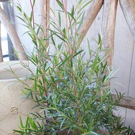 ティーツリー ドラムシルバー 苗 シルバーリーフが魅力 メラレウカ 3号サイズ ポット苗 高さ40cmセンチ程 大きく育つと冬から春にかけ梅に似た白い花を咲かせます ホワイト