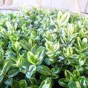 ヘーベ ピノキオ 3号サイズ 苗 コンパクトな樹形でグリーンとイエローの爽やかな斑入り葉が印象的な品種 観葉植物