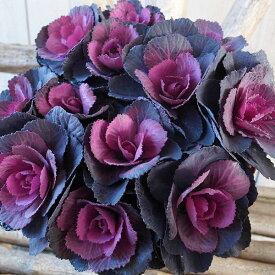 葉牡丹 ハボタン ベルサイユ ブラックルシアン 3F 3号サイズ 苗 多年草 お正月寄せ植えのワンポイントに最適 黒々した葉に中心部が赤みを増すベルサイユシリーズ