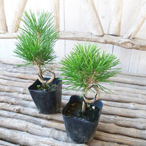 黒松 ネジリ 3号サイズ 苗 クロマツ 30cmセンチ 葉が細長く葉や樹皮が硬いのが特徴の松です 厳寒期には強い霜の当たらない場所で管理すれば冬季も綺麗な葉のまま楽しむことができます
